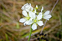 The beautiful green and white flowers of the venus flytrap, in full bloom in summer in a North Florida seepage bog.