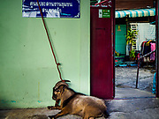 01 SEPTEMBER 2017 - BANGKOK, THAILAND: A ram that will be sacrificed tied up outside a home in a Muslim community during the celebration of Eid al-Adha at Haroon Mosque in Bangkok. Eid al-Adha is also called the Feast of Sacrifice, the Greater Eid or Baqar-Eid. It honours the willingness of Abraham to sacrifice his son. Goats, sheep and cows are sacrificed in a ritualistic manner after services in the mosque. The meat from the sacrificed animal is supposed to be divided into three parts. The family retains one third of the share; another third is given to relatives, friends and neighbors; and the remaining third is given to the poor and needy.     PHOTO BY JACK KURTZ