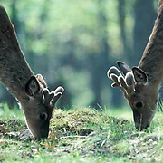 Whitetail Deer, (Odocoileus virginianus) Bucks with budding antlers grazing nose to nose.