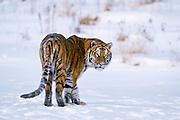 Siberian tiger (c/c)