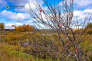Apple Tree and Old Barn along wetlands near Munising, Michigan, USA