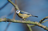 Blue Tit Parus caeruleus L 11-12cm. Familiar garden and woodland bird. Sexes are similar. Adult has greenish back, blue wings and yellow underparts. Mainly white head is demarcated by dark blue collar, connecting to dark eyestripe and dark bib; cap is blue. Bill is short and stubby and legs are bluish. Male is brighter than female. Juvenile is similar but colours are subdued. Voice Call is chattering tser err-err-err. Song contains whistling and trilling elements. Status Common resident of deciduous woodland, parks and gardens.