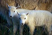 Twin mountain goat (Oremanos americanus) kids, near Logan Pass. Glacier National Park, Montana.