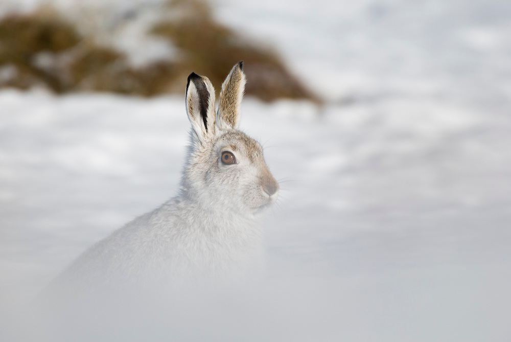 Mountain hare trying to figure out what that smell is