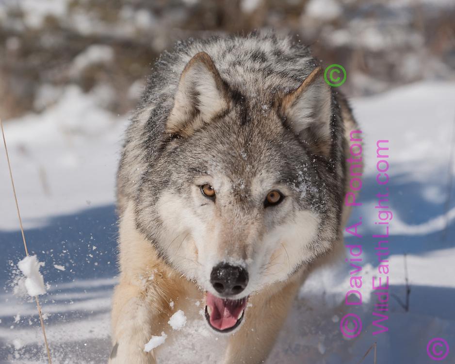 Gray wolf running directly at camera, snow flying, eye contact, close, Montana, © David A. Ponton