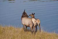 Cow elk and her calf (Cervus elaphus)  during the autumn season.  Colorado.
