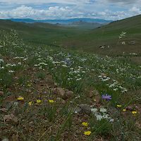 Wildflowers cover hills above the Delger River Valley, west of Muren, Mongolia.