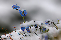 Alpine flowers in the snow. Hohe Tauern National Park, Carinthia, Austria