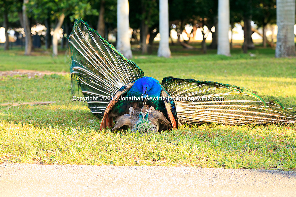 A peacock and peahen (Pavo cristatus) mating at Crandon Park near Miami, Florida. WATERMARKS WILL NOT APPEAR ON PRINTS OR LICENSED IMAGES.