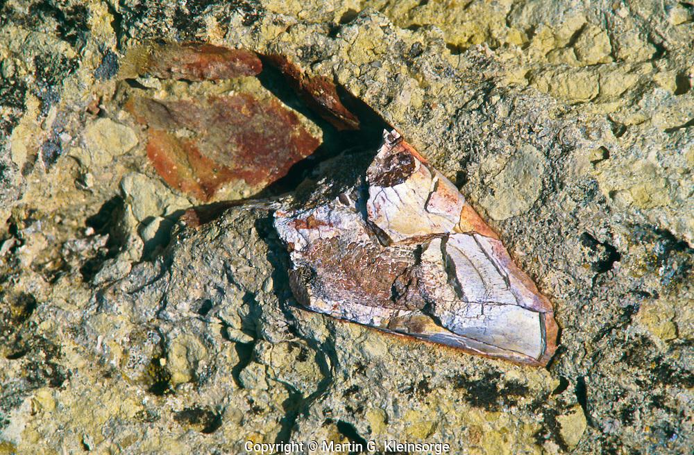 Fossilized bone fragment found on top of Norbeck Ridge. Badlands National Park, South Dakota.