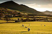 A gentle sideways progression of a line of sheep, like a huge lawn mower, moving towards the late winter sun.