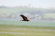 Marsh Harrier, Circus aeruginosus, in flight,  Elmely Nature Reserve, Kent UK