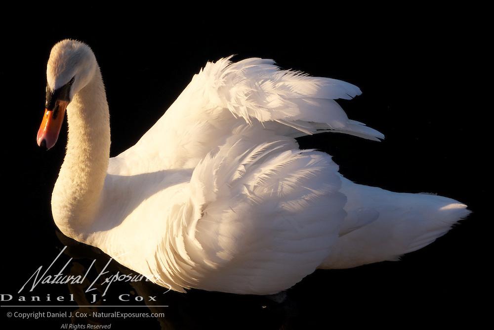 Mute Swan on the Corrib river, Galway, Ireland