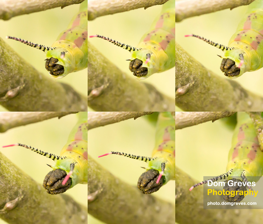 Puss moth larva (Cerura vinula) fifth instar caterpillar ejecting frass.  Surrey, UK.