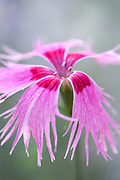Dianthus superbus 'Spooky' - fringed pink