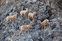 Bighorn sheep lambs in Jasper National Park