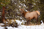 Young bull Elk in the September snow
