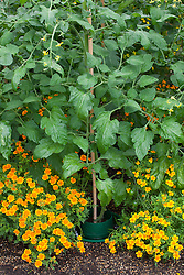 Companion planting of tomatoes with Tagetes tenuifolia 'Tangering Gem' in the greenhouse. Marigolds