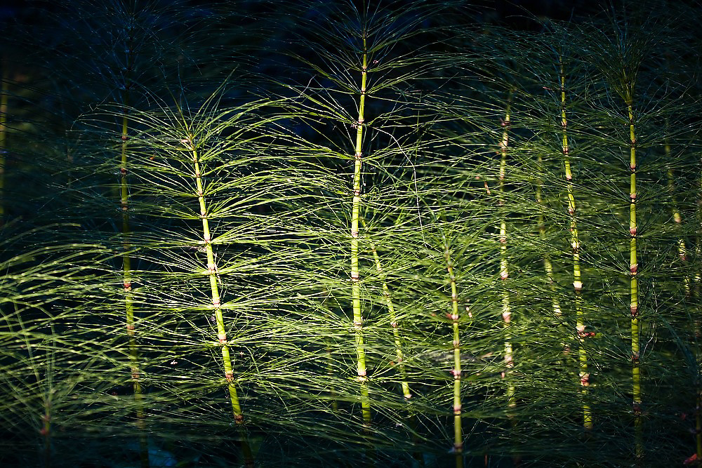 A shaft of light strikes horsetails (Equisetum sp) in the Washington Park Arboretum in Seattle, Washington. The city park, a living museum home to over 20,000 plant species from around the world, celebrates its 75th anniversary this year.