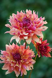 Dahlia seedling 442 also said ruro1506 on label