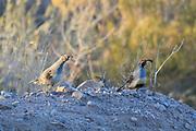 Gambel's quail in deert habitat