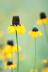 Clasping coneflowers, Big Spring historical and natural area, Great Trinity Forest, Dallas, Texas, USA