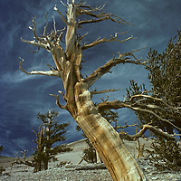 A dying Bristlecone Pine stands in the Patriarch Grove of the Ancient Bristlecone Pine Forest in California's White Mountains, above Bishop.