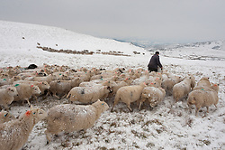 © Licensed to London News Pictures. 01/02/2019. Gwenddwr, Powys, Wales, UK. In sub zero temperatures, beef and sheep farmer John Powell, who farms sheep with his brother near Gwenddwr. in Powys, feeds a flock of Welsh Mountain ewes with hay and mineral supplements on the bleak barren moorland of the Mynydd Epynt range at approximately 400 metres above sea-level. credit: Graham M. Lawrence/LNP