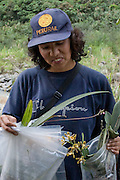 Norma Salinas with a good days collection of orchids. The samples are collected for a live herbarium in Cusco.