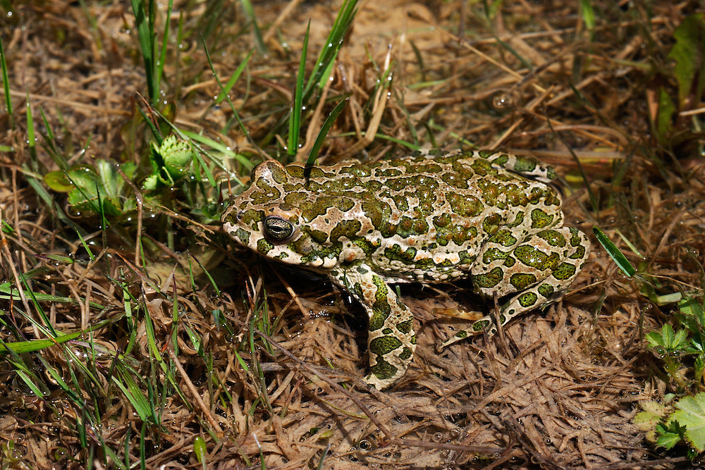 Russia, Caucasus. European green toad (Bufo viridis) displaying in a pond 2711 m asl in Adylsu valley, a side valley to Baksan valley and Elbrus.