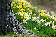 A swath of daffodils cascades down a steep bank behind a rough-barked tree.