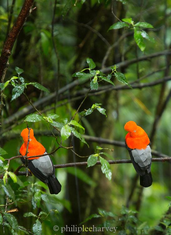 Cock-of-the-Rock bird (Rupicola peruvianus) seen in the cloud forest, Manu National Park, Peru, South America