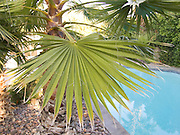 close up of a Palm tree leaf near a swimming pool.