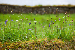 Ribwort plantain, pignut and bluebells growing on top of a mossy wall in Scotland. Plantago lanceolata