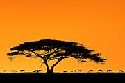 Wildebeest migration, acacia tree at dawn, Serengeti National Park, Tanzania.
