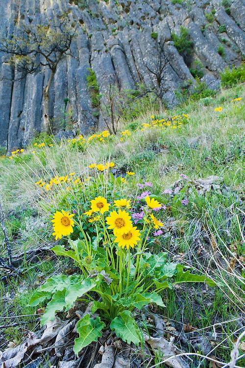 Balsamroot flowers on a grassy hillside below Andesite Cliff columns in the Tieton River gorge, Washington, USA.