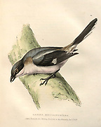 great grey shrike (Lanius excubitor) color plate of North American birds from Fauna boreali-americana; or, The zoology of the northern parts of British America, containing descriptions of the objects of natural history collected on the late northern land expeditions under command of Capt. Sir John Franklin by Richardson, John, Sir, 1787-1865 Published 1829