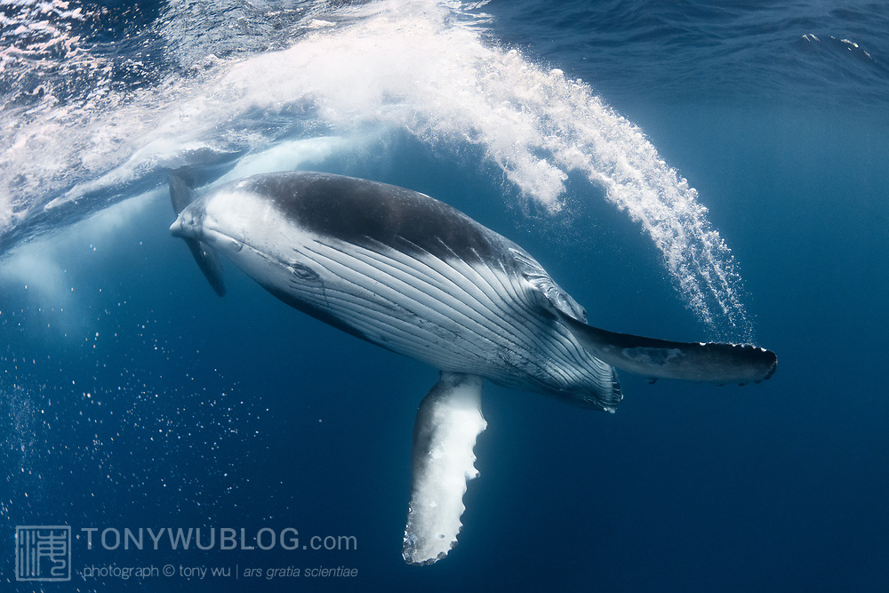 This is a male humpback whale calf (Megaptera novaeangliae australis) playing at the ocean surface, using his pectoral fin to sweep through the water, leaving turbulence and bubbles in its wake. The calf's mother was resting below.
