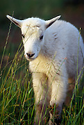 A mountain goat (Oremanos americanus) kid, near Logan Pass. Glacier National Park, Montana.