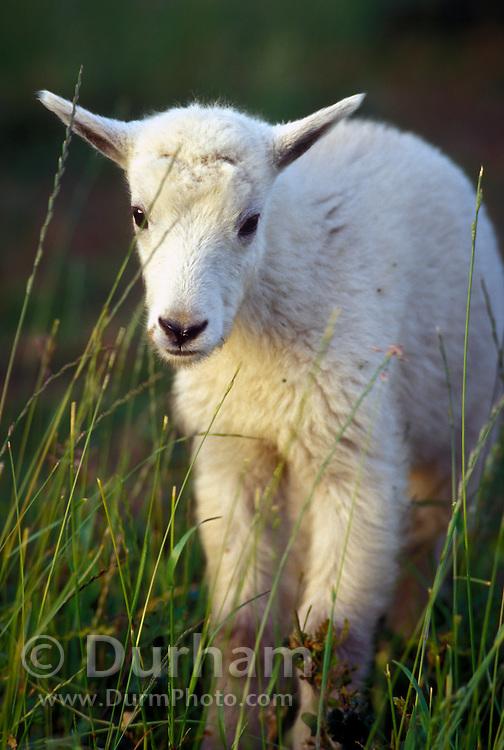 A mountain goat (Oremanos americanus) kid, near Logan Pass. Glacier National Park, Montana.