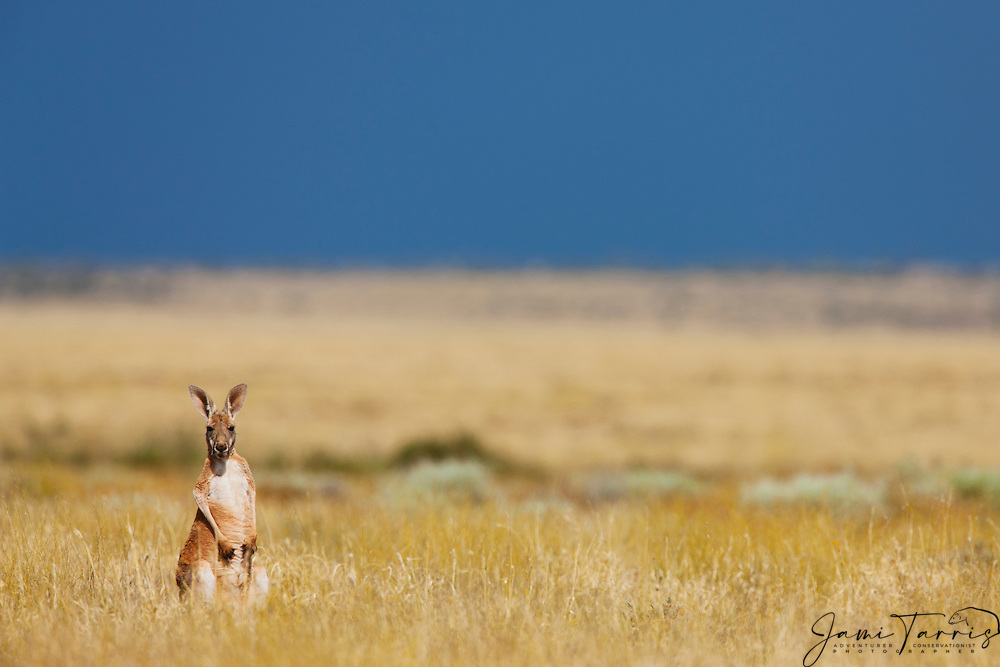 A small red kangaroo joey (Macropus rufus) sits in golden desert grass after a rain,  Sturt Stony Desert,  Australia