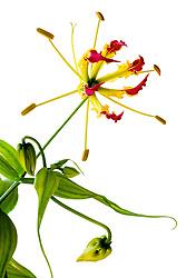 Gloriosa Lily #1