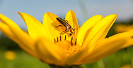 Lightning bug gets a charge on Curtis Prairie sunflower solar station, UW-Madison arboretum. Photo taken July 9, 2019.