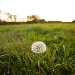 A dandelion in a hay field in Ipswich Massachusetts USA