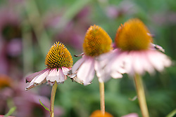 August 19, 2017 - Bydgoszcz, Poland - The cone shaped heads of daisy flowers are seen in a park in the center of the city on 19 August, 2017  (Credit Image: © Jaap Arriens/NurPhoto via ZUMA Press)