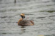 Horned Grebe Preening with chick in water
