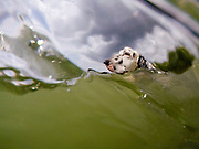 """English Setter """"Rudy"""" schwimmt am 03.06. 2018 im Teich von Stara Lysa, (Tschechische Republik).  Rudy wurde Anfang Januar 2017 geboren."""