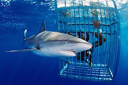 divers and Galapagos sharks, .Carcharhinus galapagensis, .North Shore, Oahu, Hawaii (Pacific)