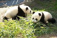 032811 spanish queen pandas