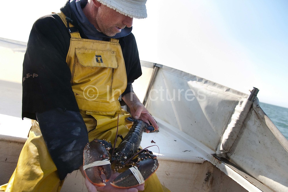 A lobster caught in a lobster pot and pulled out of the sea in Christchurch Bay. The lobster's claws are secured with rubber bands.<br /> Sustainable fishing methods and small scale fisher men syndicates are now common along the British coast. In Christchurch Bay a small band of fisher men catch their fish, lobsters, cuttlefish and crabs from small boats. They all fish according to the latest environmenttal guidance to keep their fishing as sustainable as possible. They then sell their catch as a syndicate to big export companies or fish shops in cities like London.